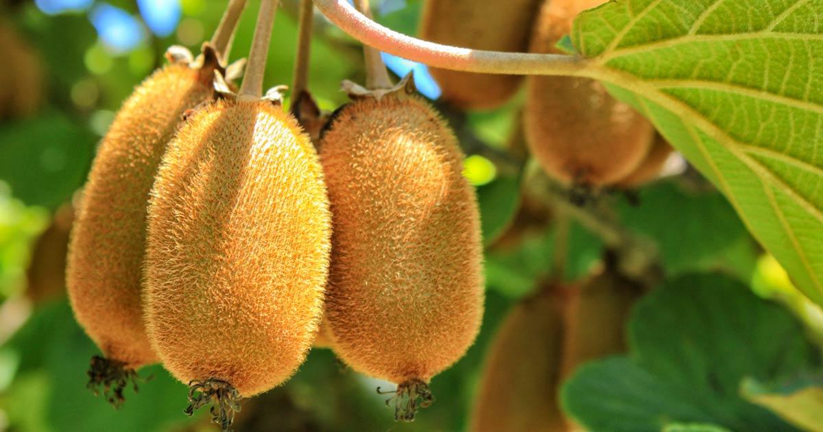 Export agroalimentare, i kiwi italiani